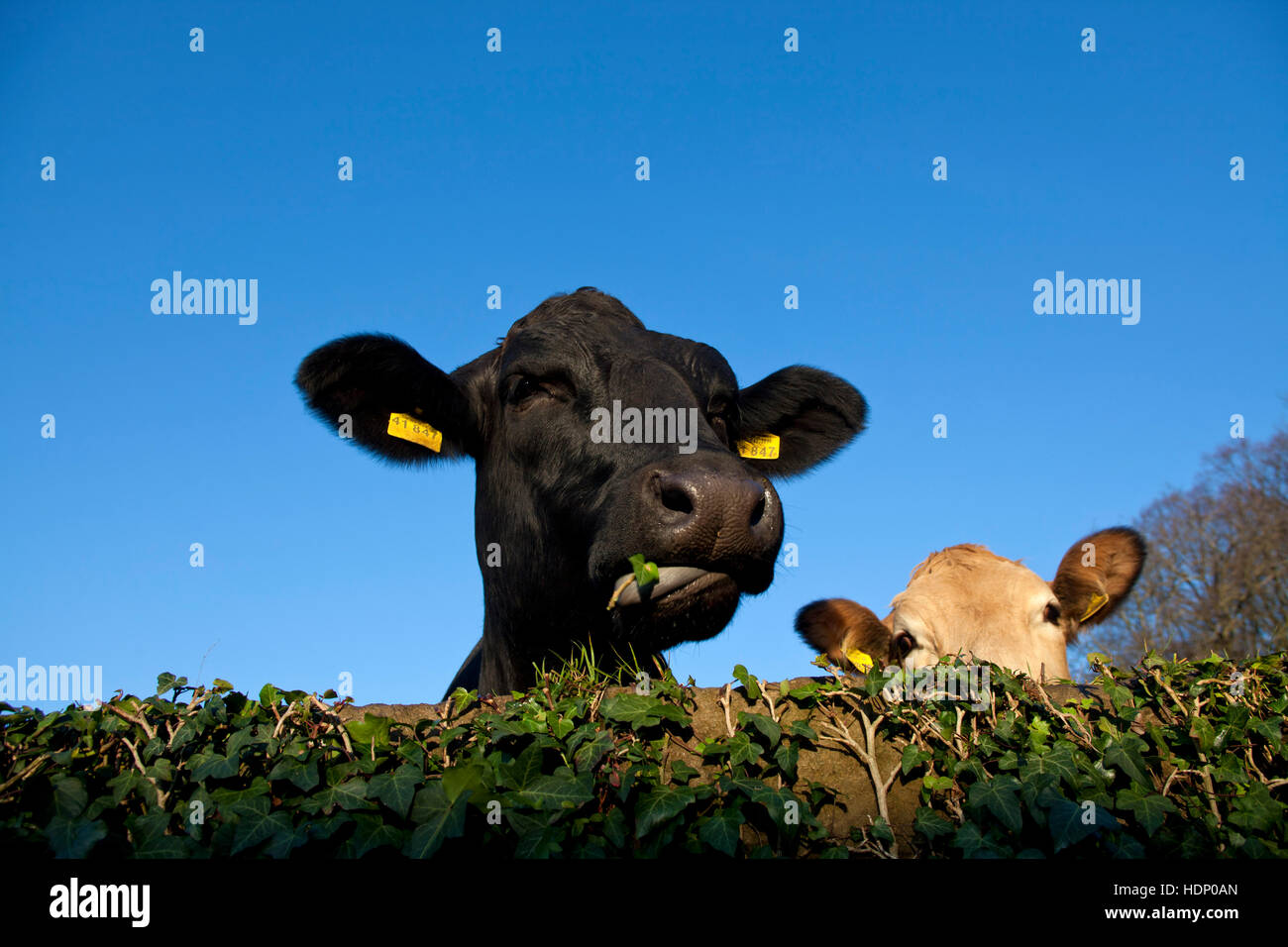 Europe, Germany, North Rhine-Westphalia, Herdecke, cows are looking over an ivy covered wal, the left cow is eating - Stock Image