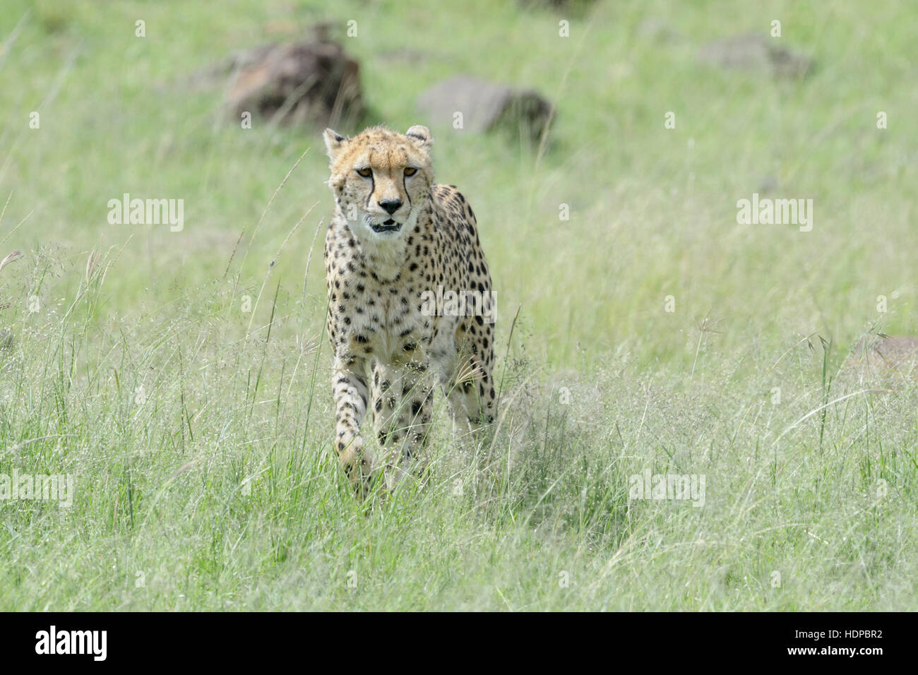 Cheetah (Acinonix jubatus) walking on savanna, Maasai Mara National Reserve, Kenya - Stock Image