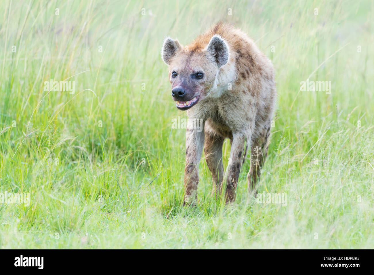 Spotted hyena (Crocuta crocuta) on savanna, Maasai Mara National Reserve, Kenya - Stock Image