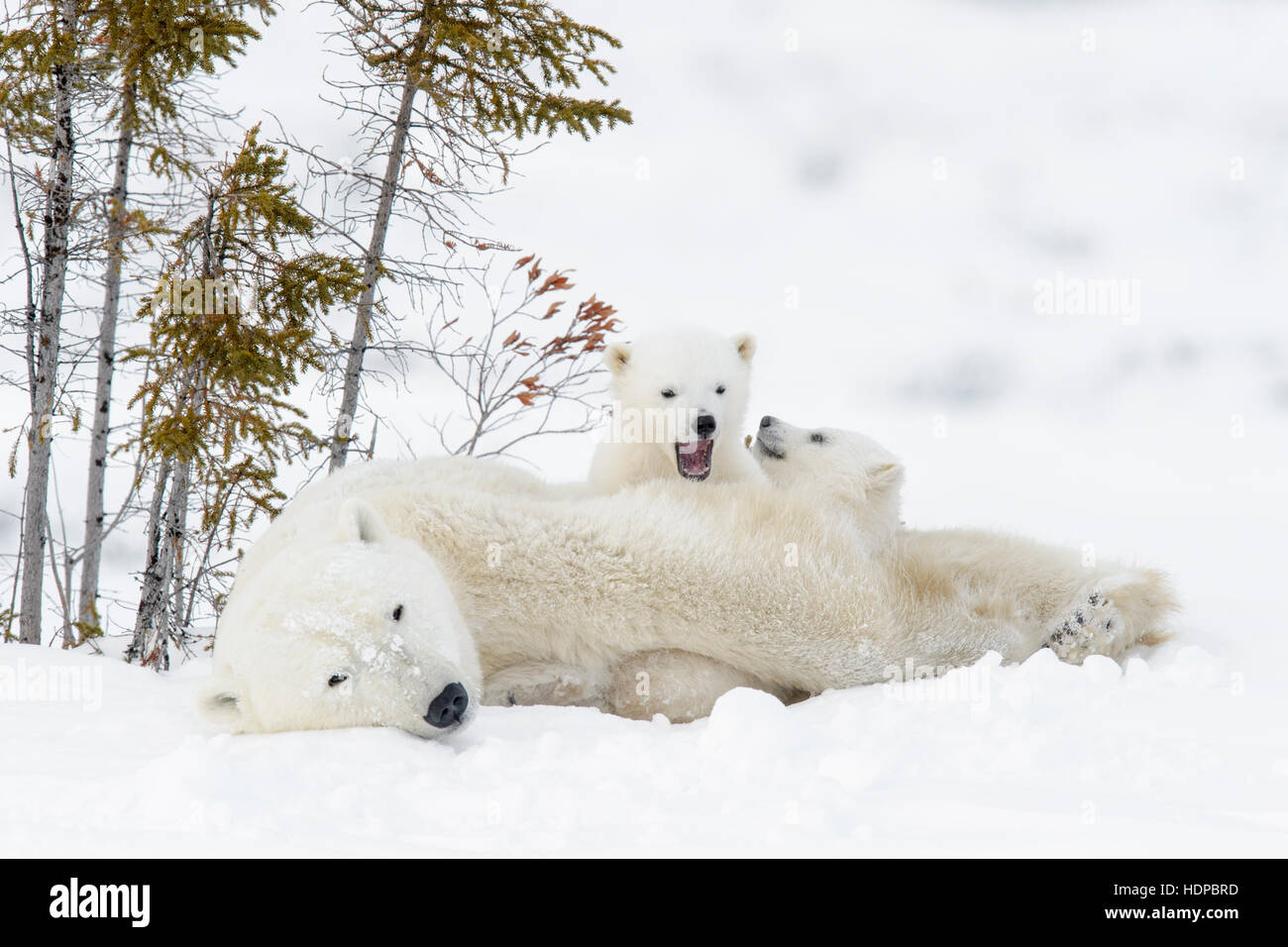 Polar bear mother (Ursus maritimus) with two cubs, Wapusk National Park, Manitoba, Canada - Stock Image