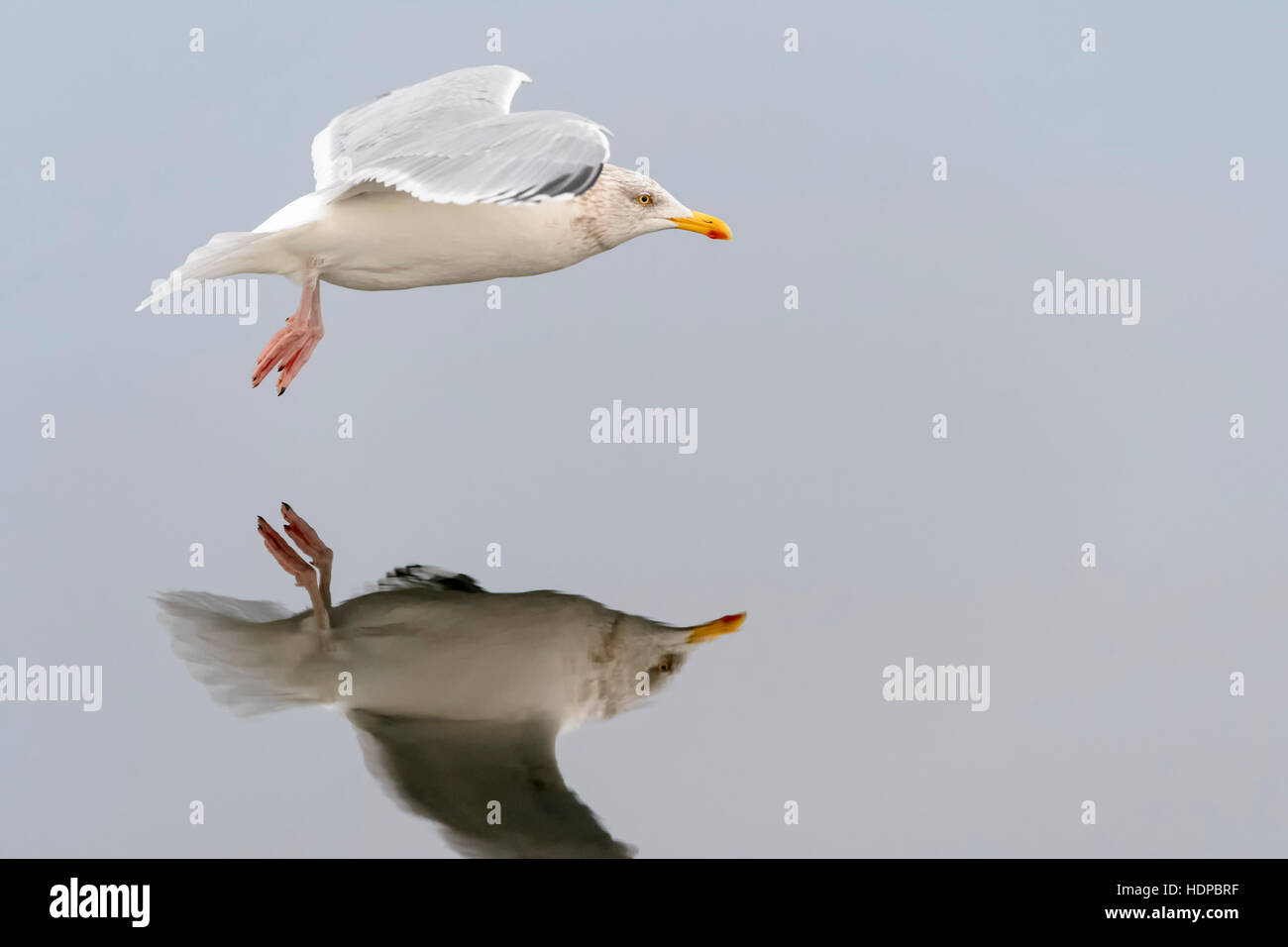 Herring gull (Larus argentatus), flying with reflection, Norway, Flatanger, Lauvsnes - Stock Image