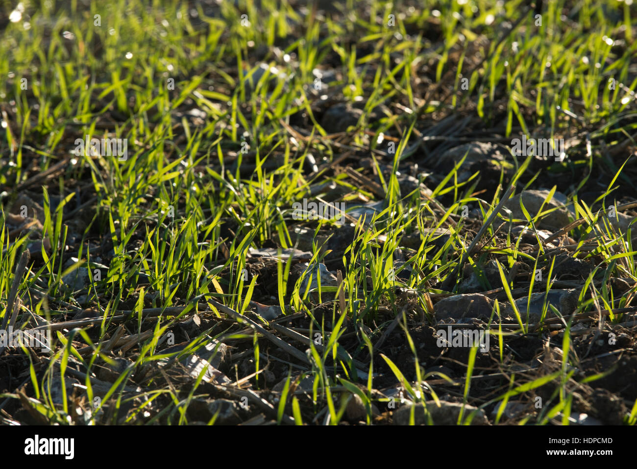 A seedling winter wheat crop emerging on stony ground, November, Berkshire - Stock Image