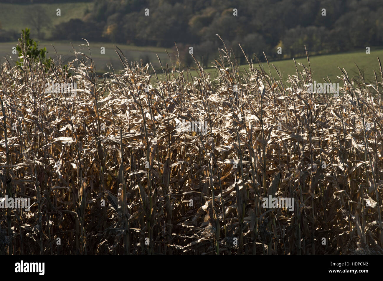 Maize game crop dry winter feed and cover for pheasants and partridges, Berkshire, November - Stock Image