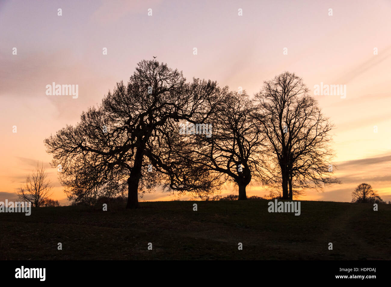 Bare oak trees on the brow of a hill, silhouetted by the sunset - Stock Image