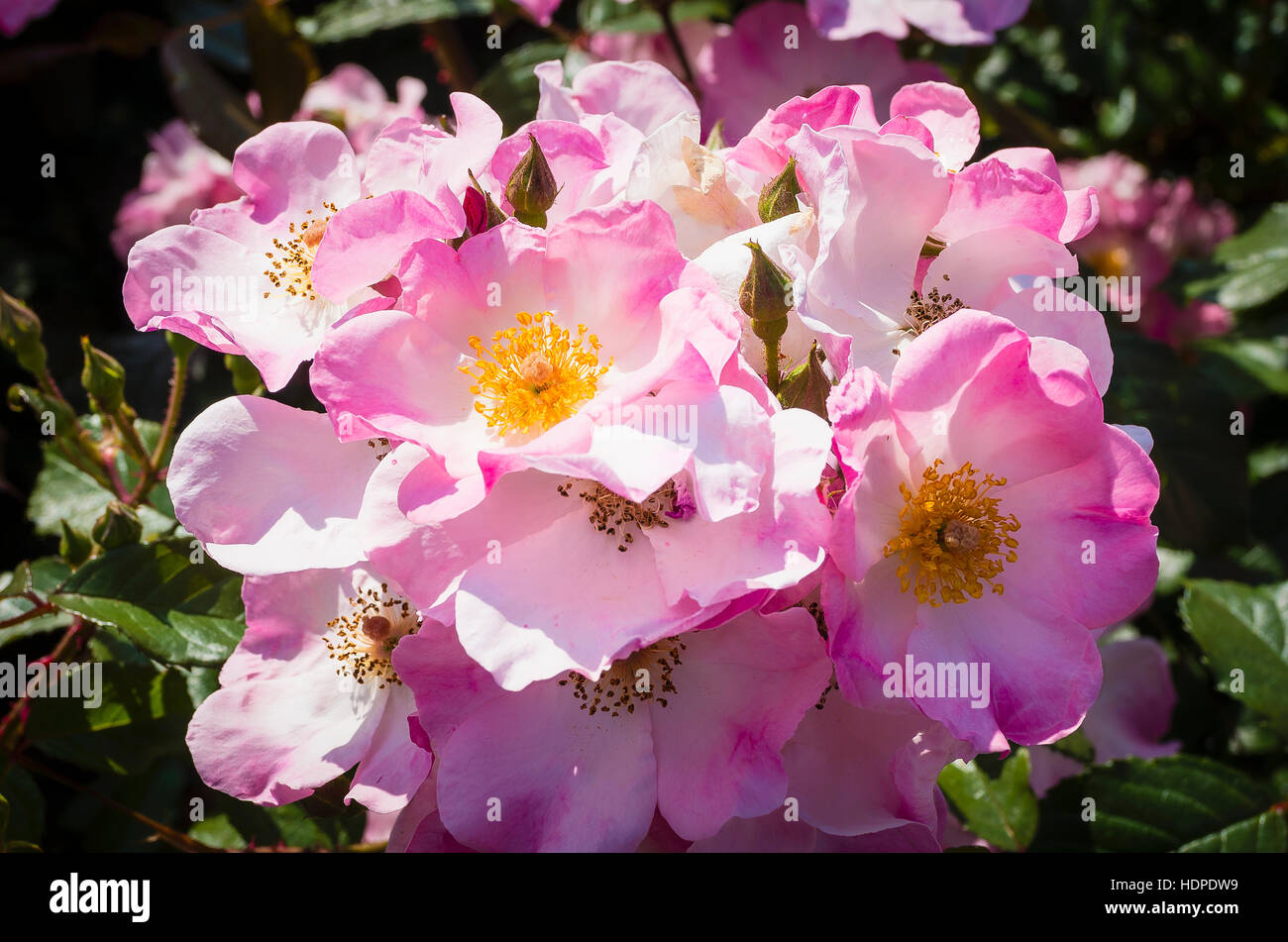 Rosa Rosy Cushion flowering in June - Stock Image
