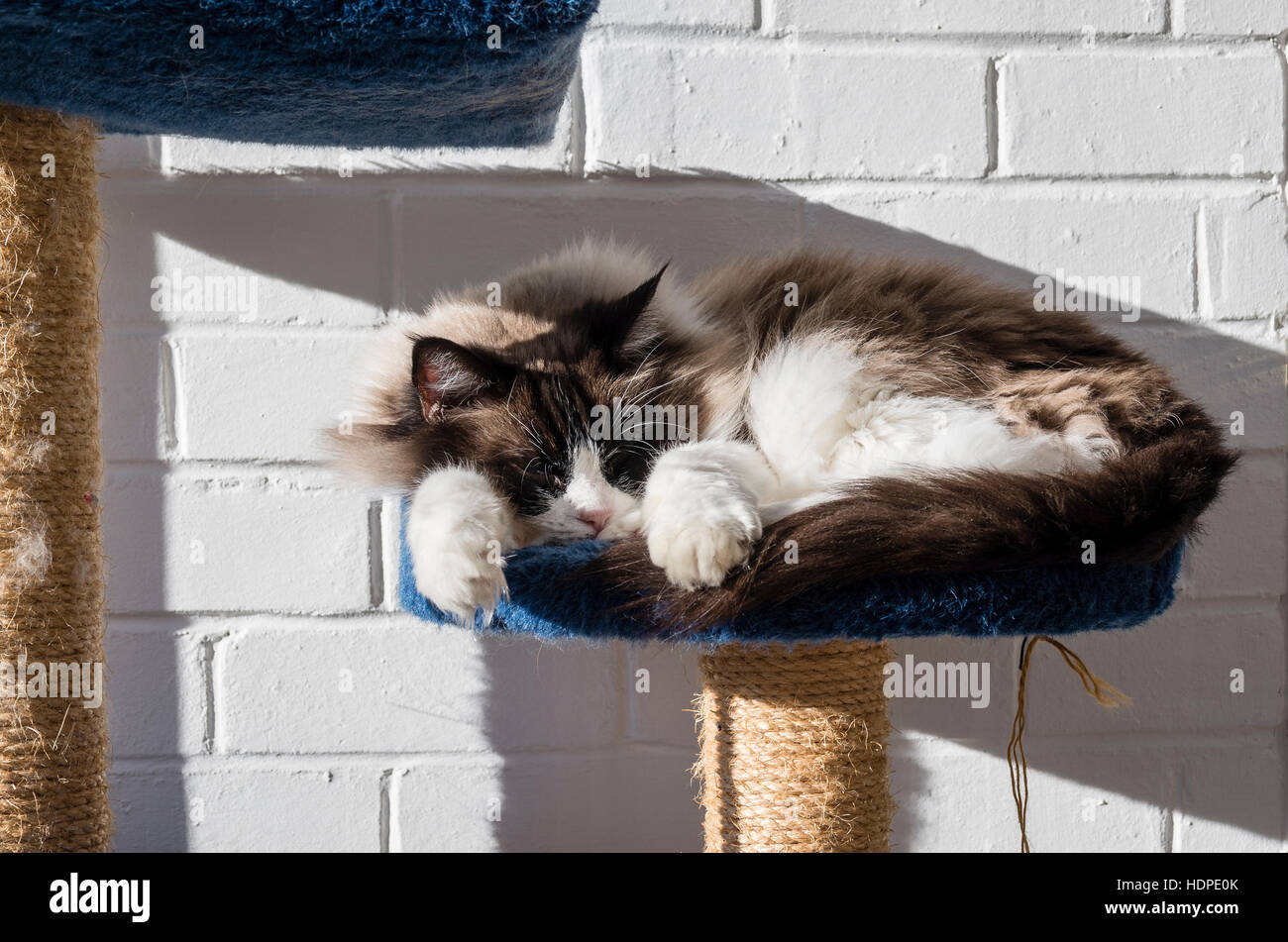 An adult Ragdoll cat basking in sunlight indoors - Stock Image
