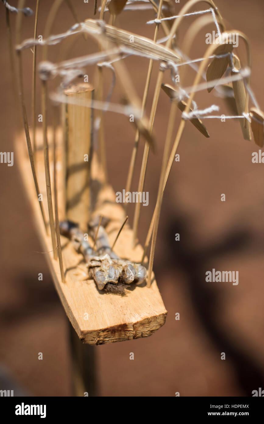broken chicken bones as part of Karen religious ceremony in the Shan State, Myanmar. - Stock Image