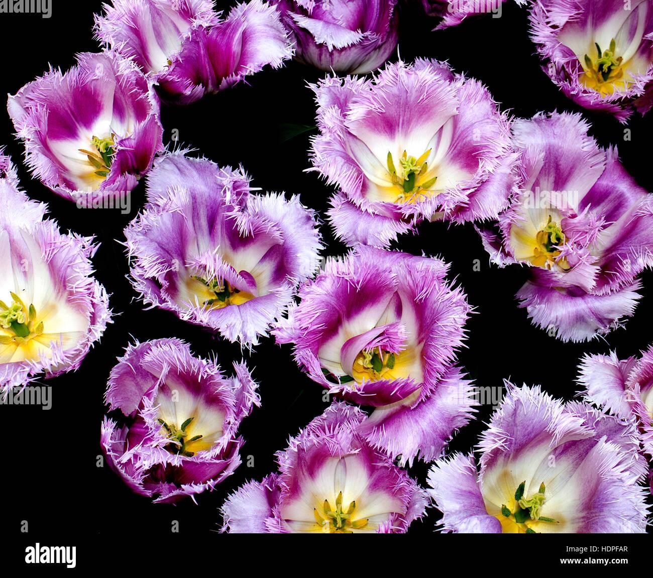Tulipa 'Oviedo' on display in the Netherlands (digitally enhanced) - Stock Image