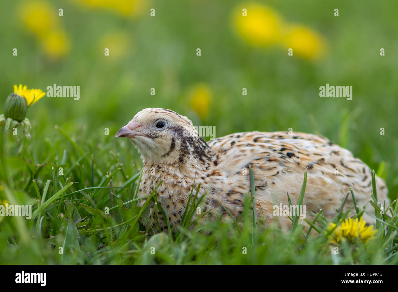 Japanese quail (Coturnix japonica) in a spring meadow - Stock Image