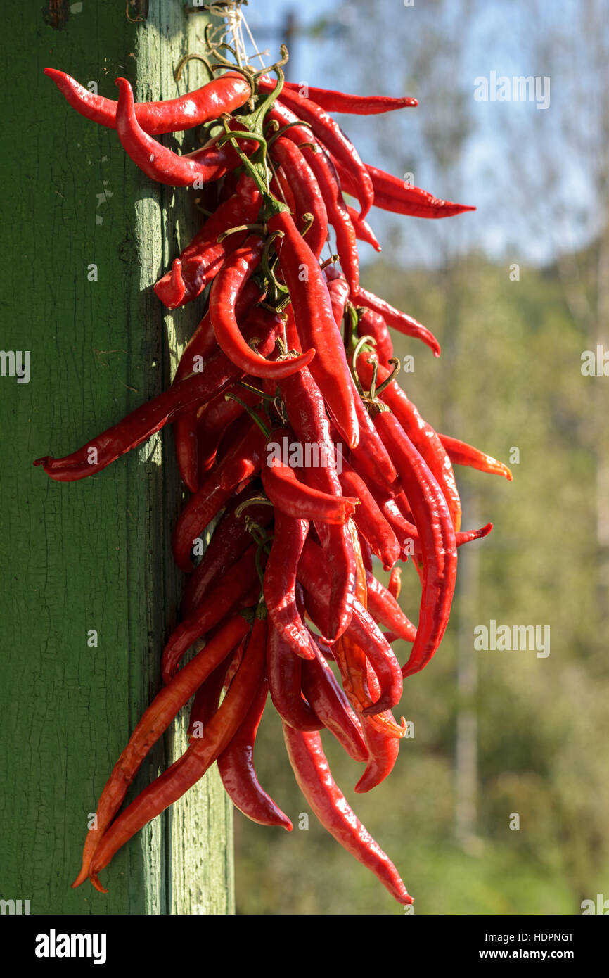 bunch of red hot chilli peppers - shalow DOF - Stock Image