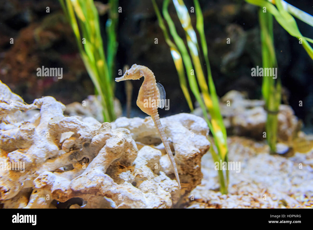The cute Seahorse swimming alone in the water - Stock Image