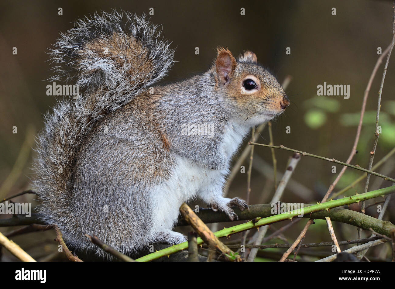 A grey squirrel sitting in a hedgerow UK - Stock Image