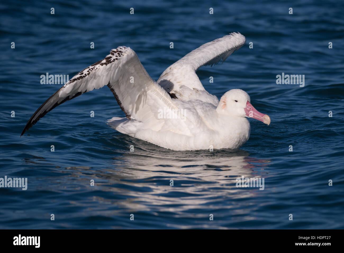 An adult Wandering Albatross floating on the ocean - Stock Image