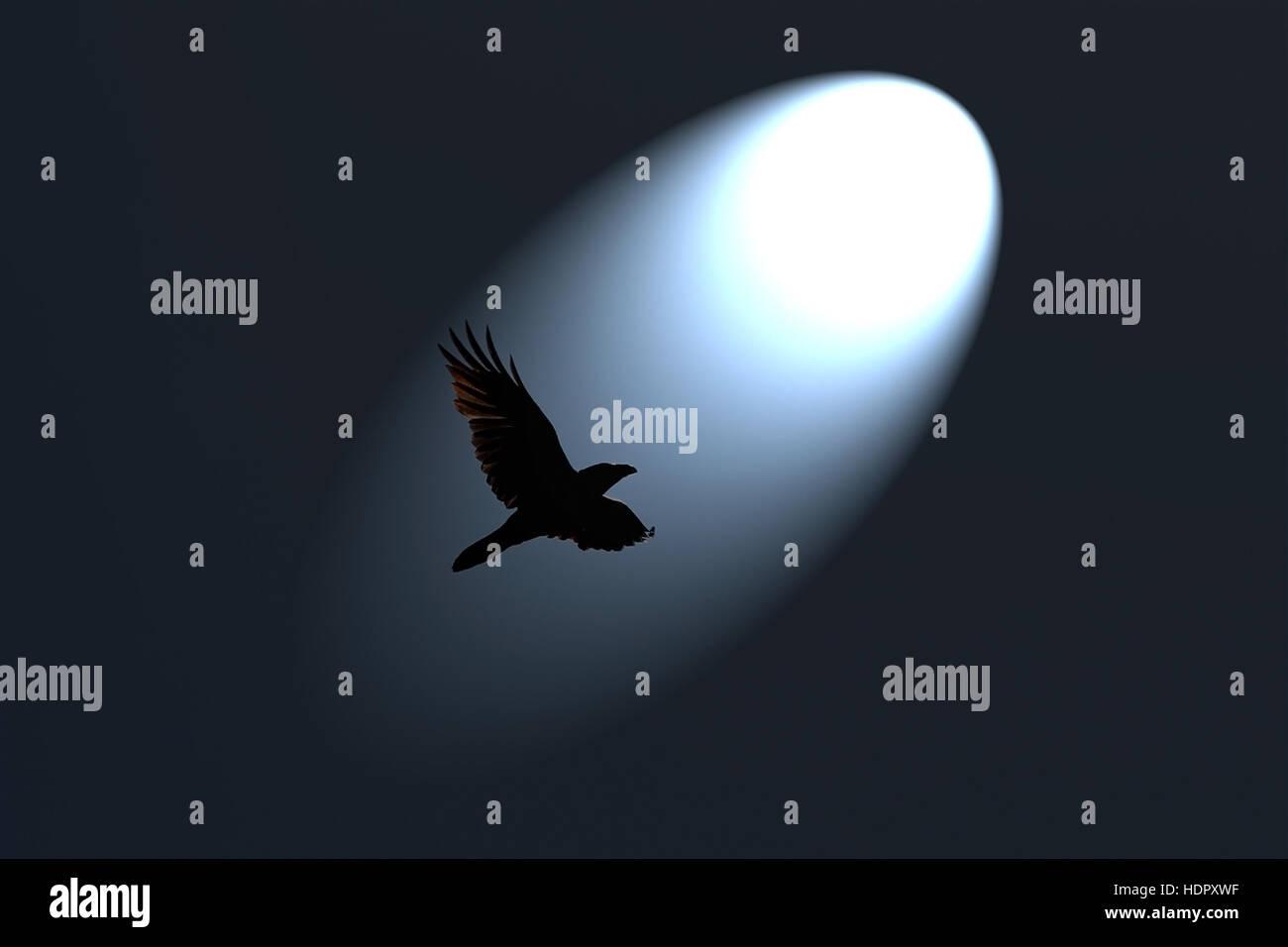 Mysterious Black Raven flying in spotlight against dark background. - Stock Image