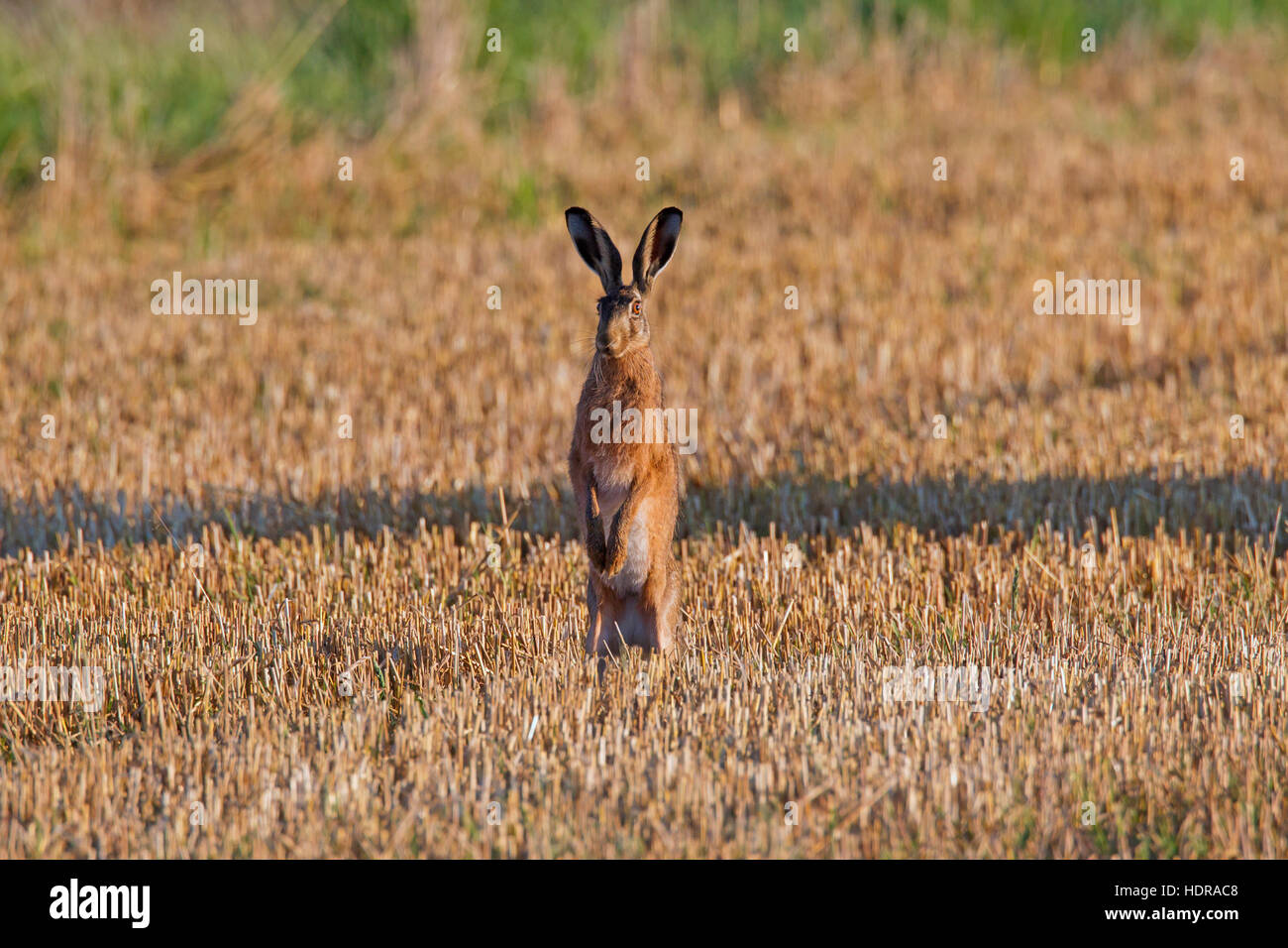 Alert European brown hare (Lepus europaeus) standing upright in stubblefield - Stock Image