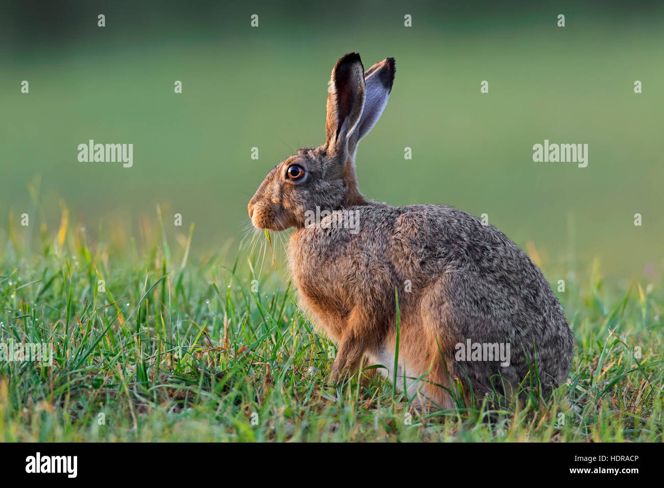 European Brown Hare (Lepus europaeus) sitting in grassland - Stock Image