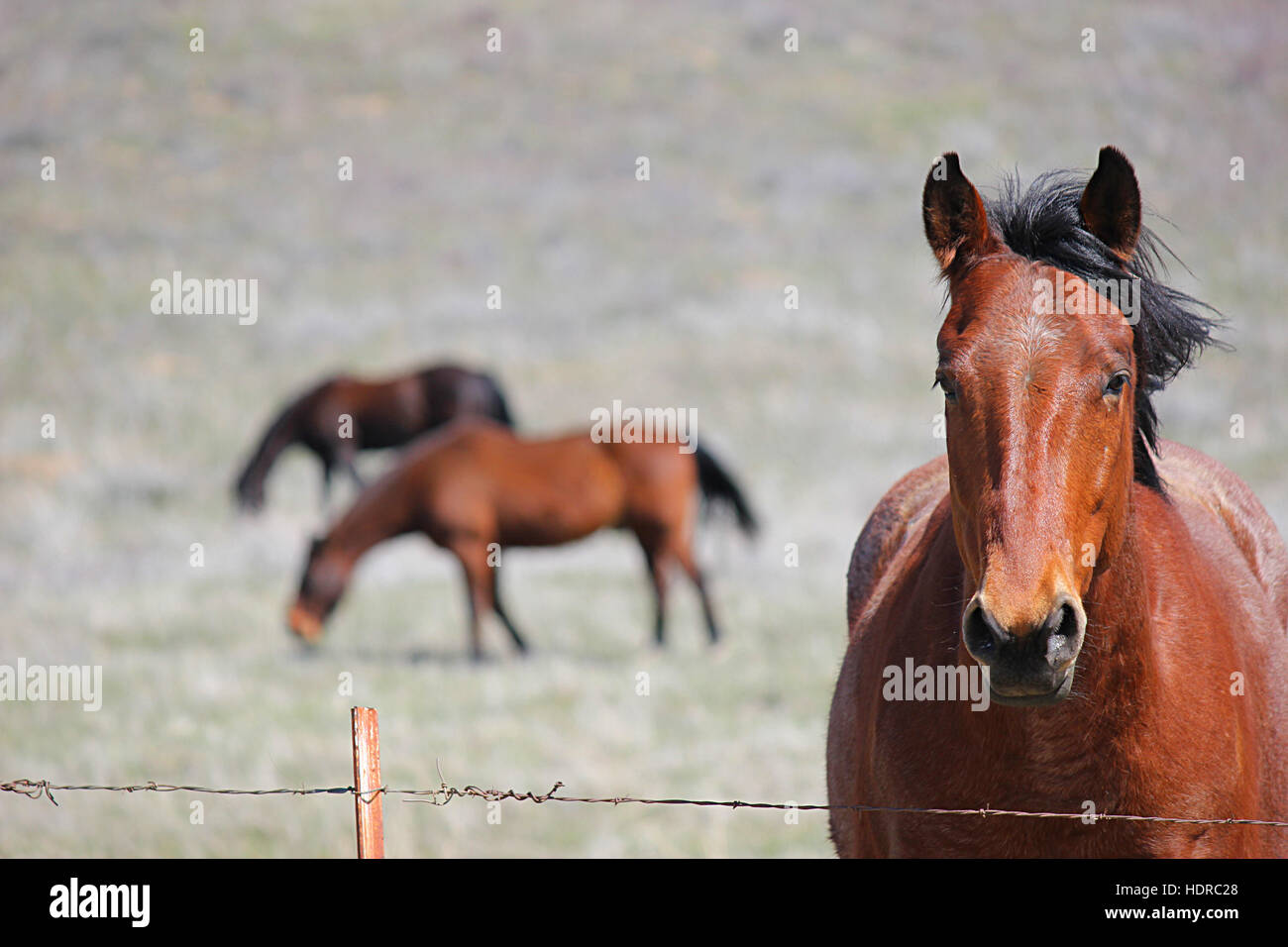Photogenic horse looking at the camera with horses in the background - Stock Image