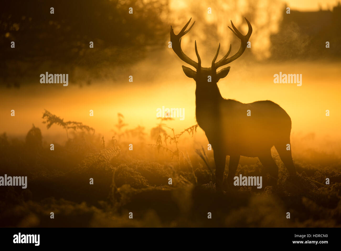 An impressive stag silhouetted by a glorious golden sunrise in Bushy Park - Stock Image