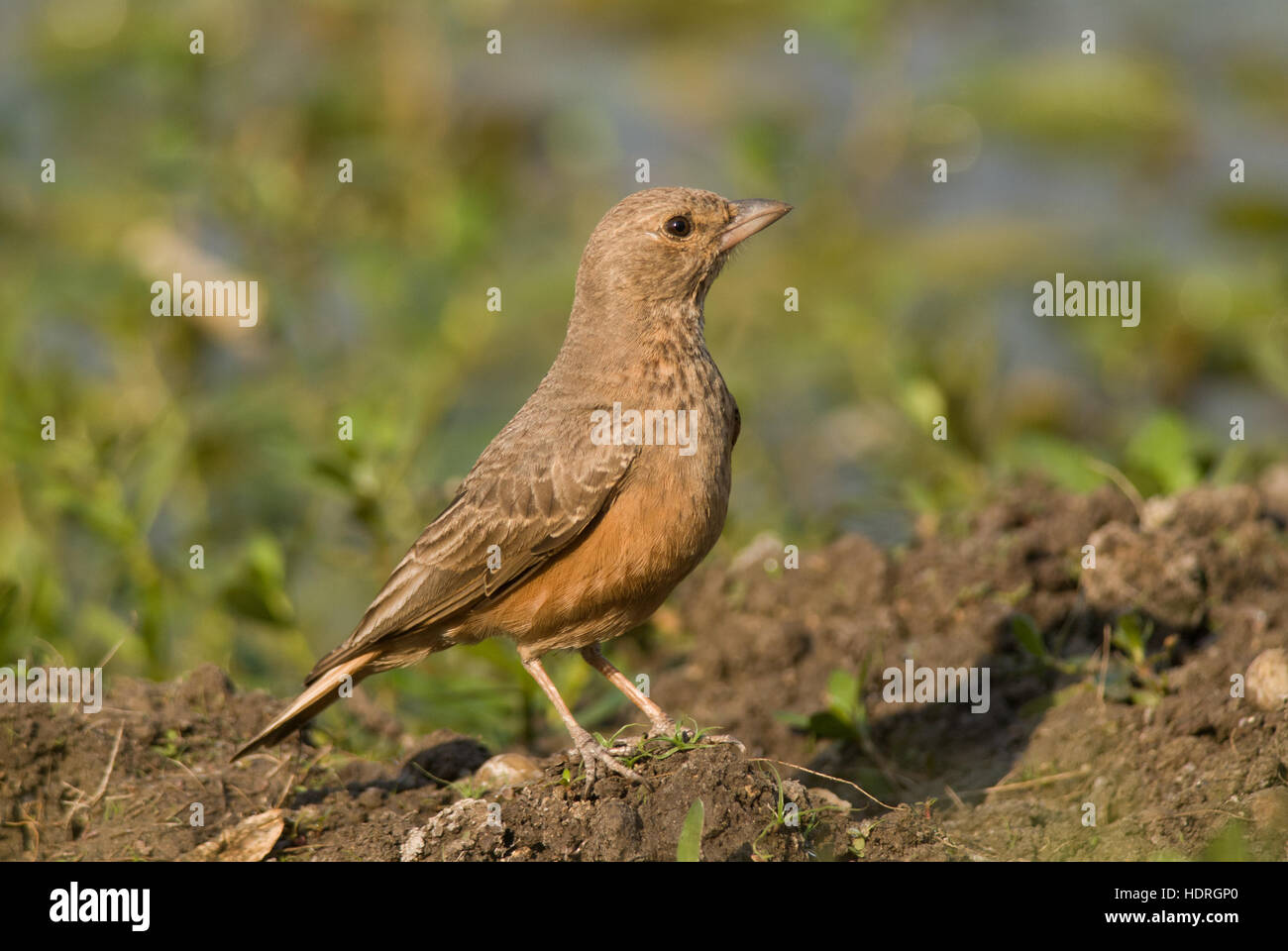 The rufous-tailed lark (Ammomanes phoenicura), also sometimes called the rufous-tailed finch-lark at Pashan Lake - Stock Image