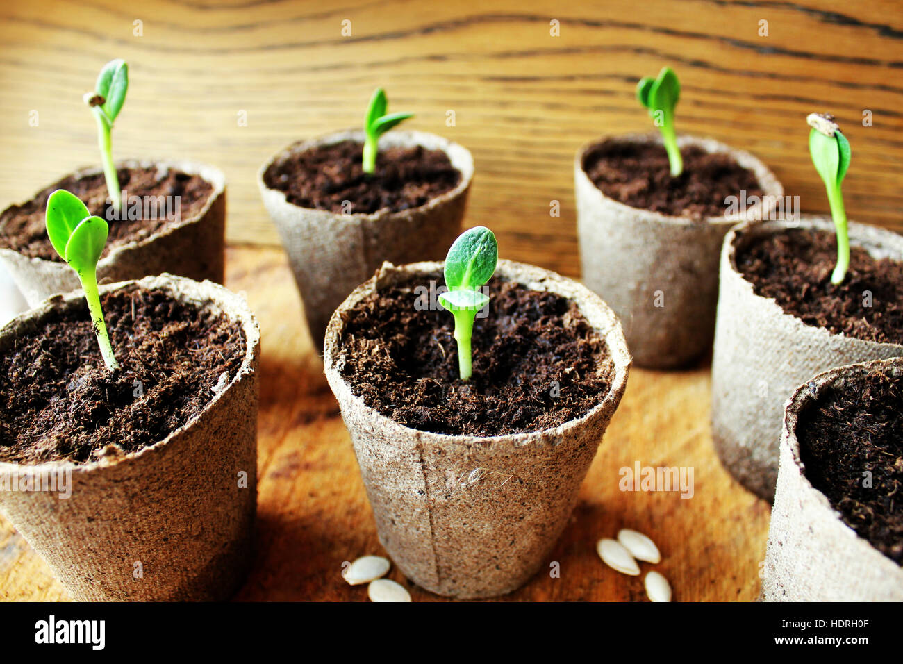 Gardening background.Young fresh seedling growing in pot. - Stock Image