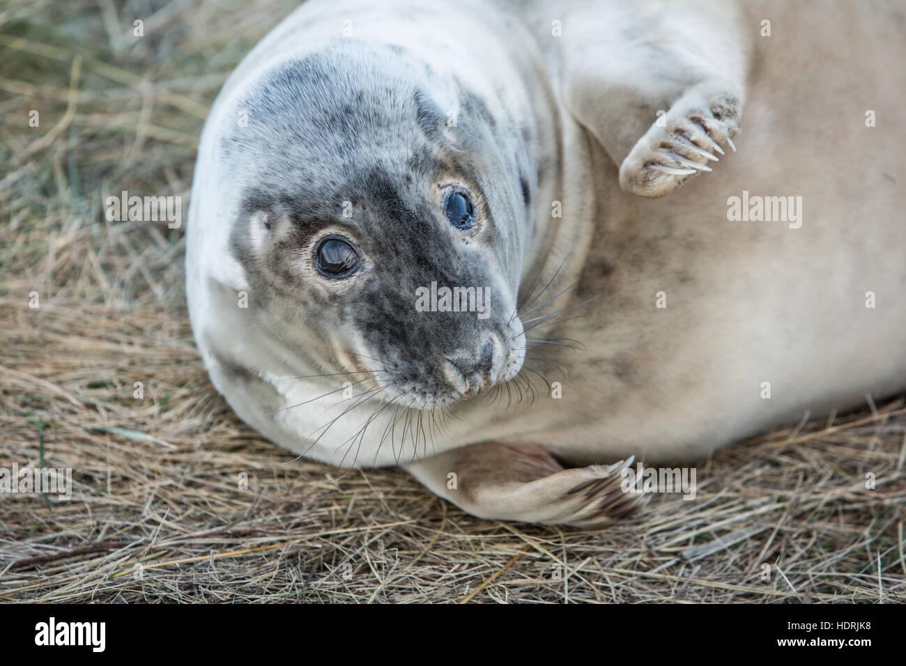 Grey seal basking at Donna Nook resrve in Lincolnshire - Stock Image