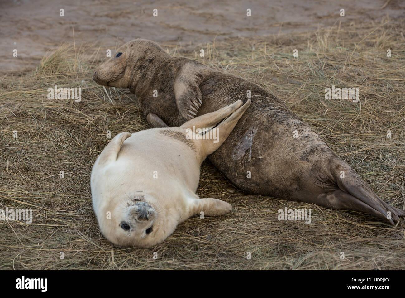 Seals grey basking - Stock Image