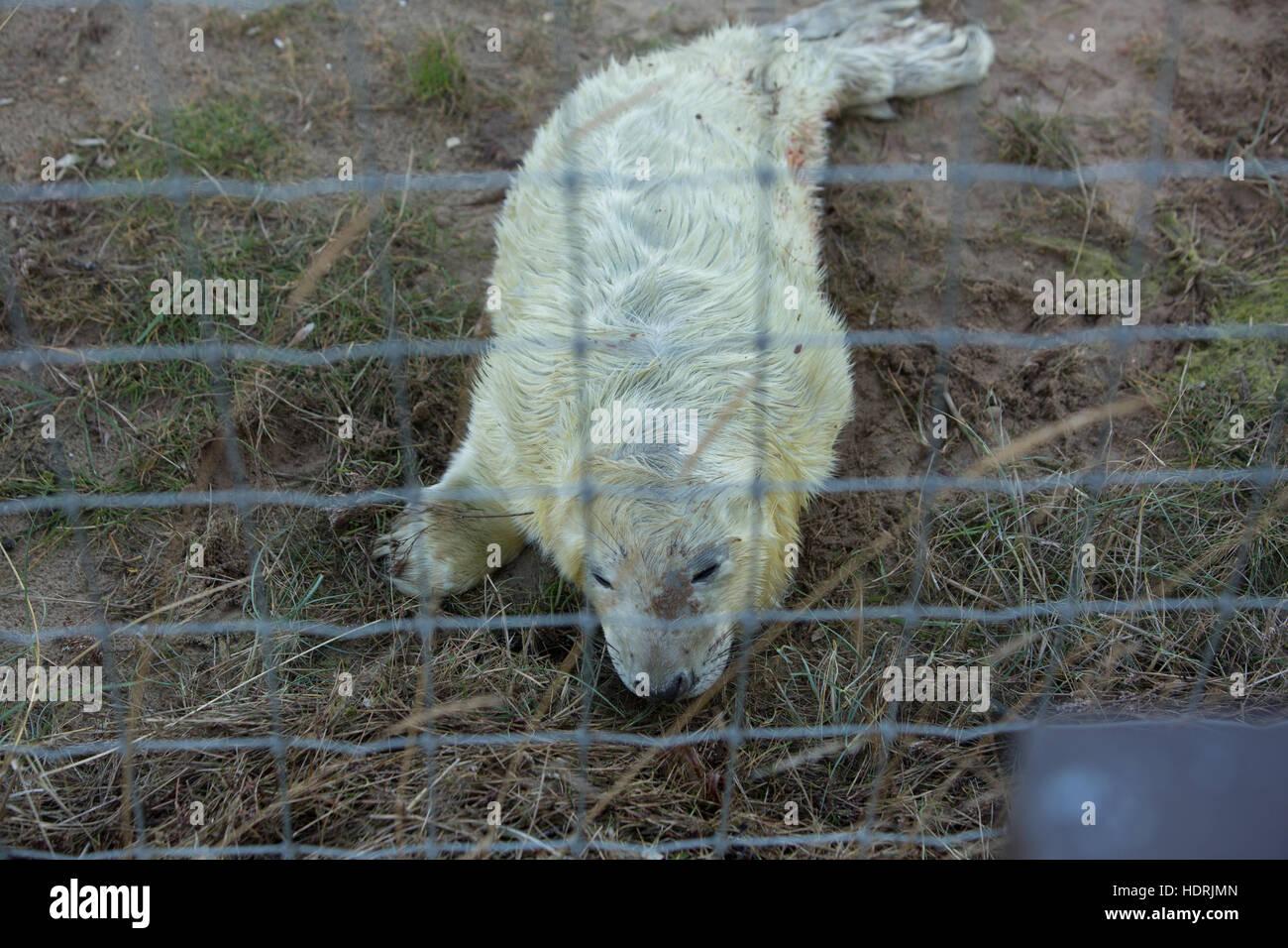 Newly born grey seal. - Stock Image