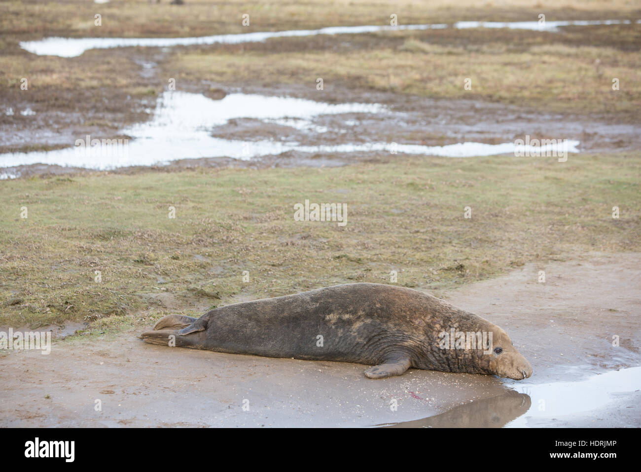 Seals grey basking - Stock Image