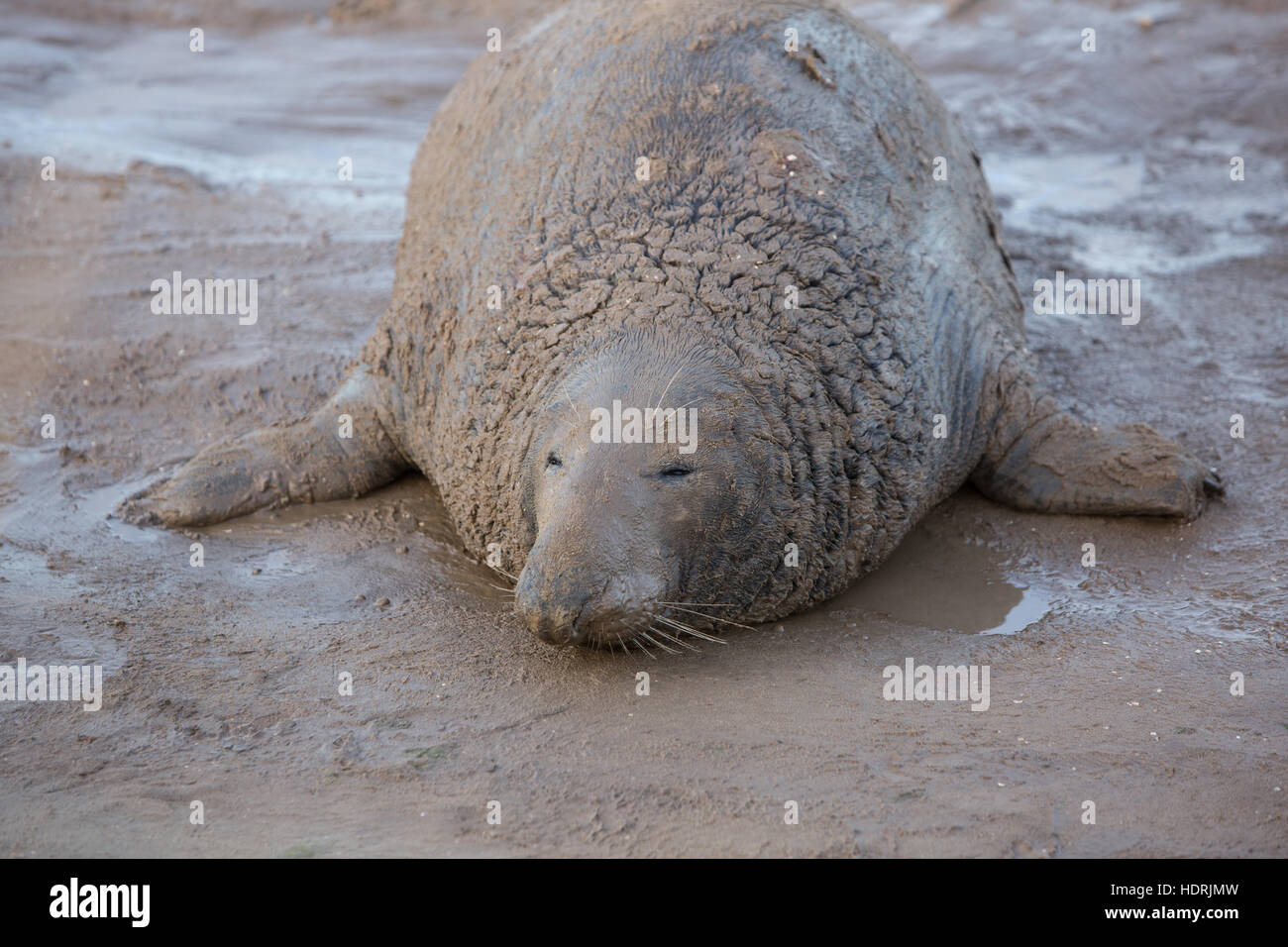 Bull Grey seal basking at Donna Nook resrve in Lincolnshire - Stock Image