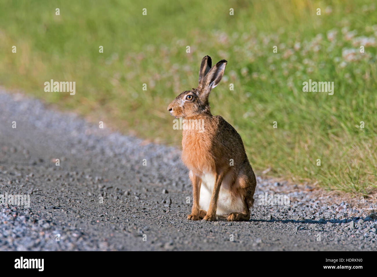 European Brown Hare (Lepus europaeus) sitting on dirt road - Stock Image