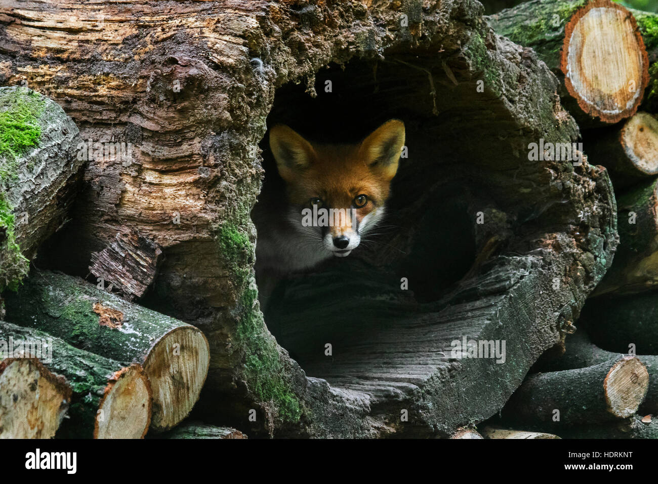 Red fox (Vulpes vulpes) in hollow tree trunk in woodpile in forest - Stock Image