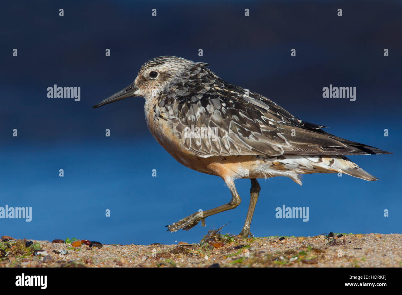 Red knot (Calidris canutus) in late summer plumage foraging along the Baltic Sea coast - Stock Image