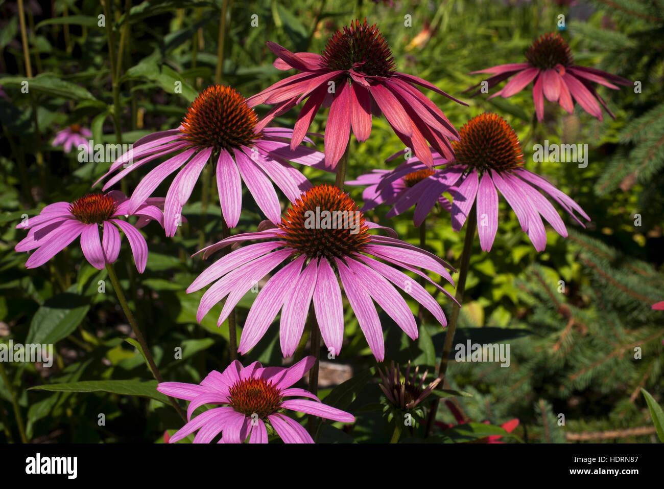 Purple Coneflower Echinacea Purpurea Knowlton Quebec Canada