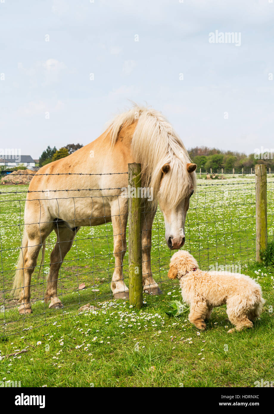 A blond cockapoo and blond horse meet at a fence and greet one stock a blond cockapoo and blond horse meet at a fence and greet one another south shields tyne and wear england m4hsunfo