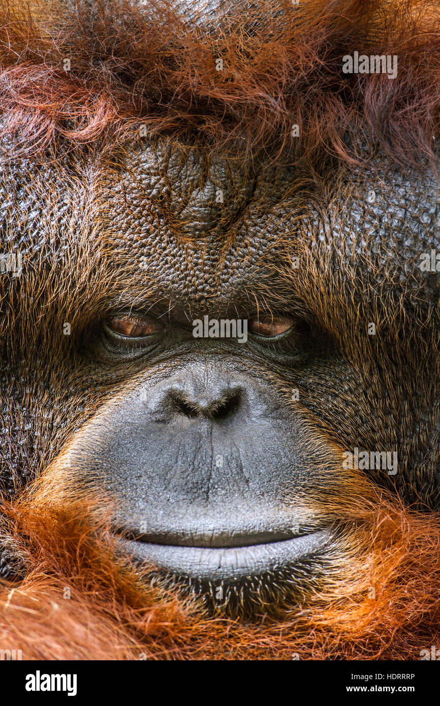 Orangutan portrait in Chiang Mai zoo, Thailand ; specie Pongo pygmaeus family of  Hominidae Stock Photo