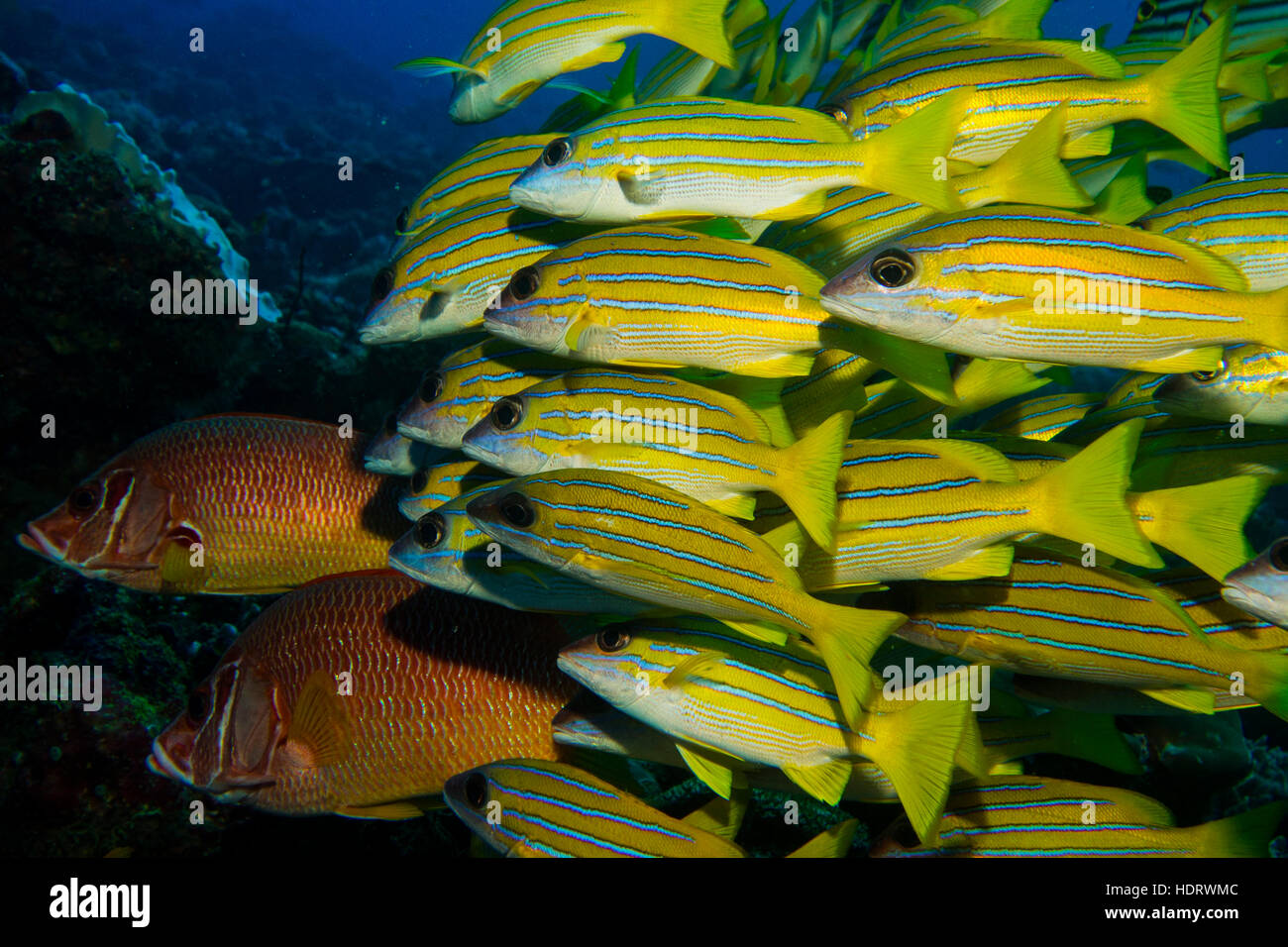 Underwater photography, school of colorful fish in Maldives, Indian ...