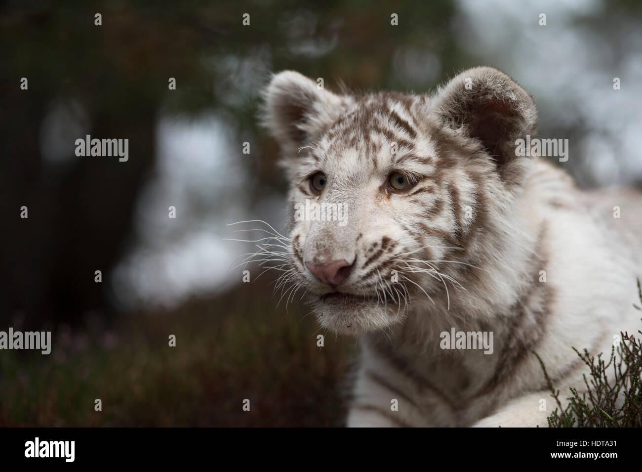 Royal Bengal Tiger / Koenigstiger ( Panthera tigris ), white morph, close-up, headshot, looks cunning, shifty, but - Stock Image