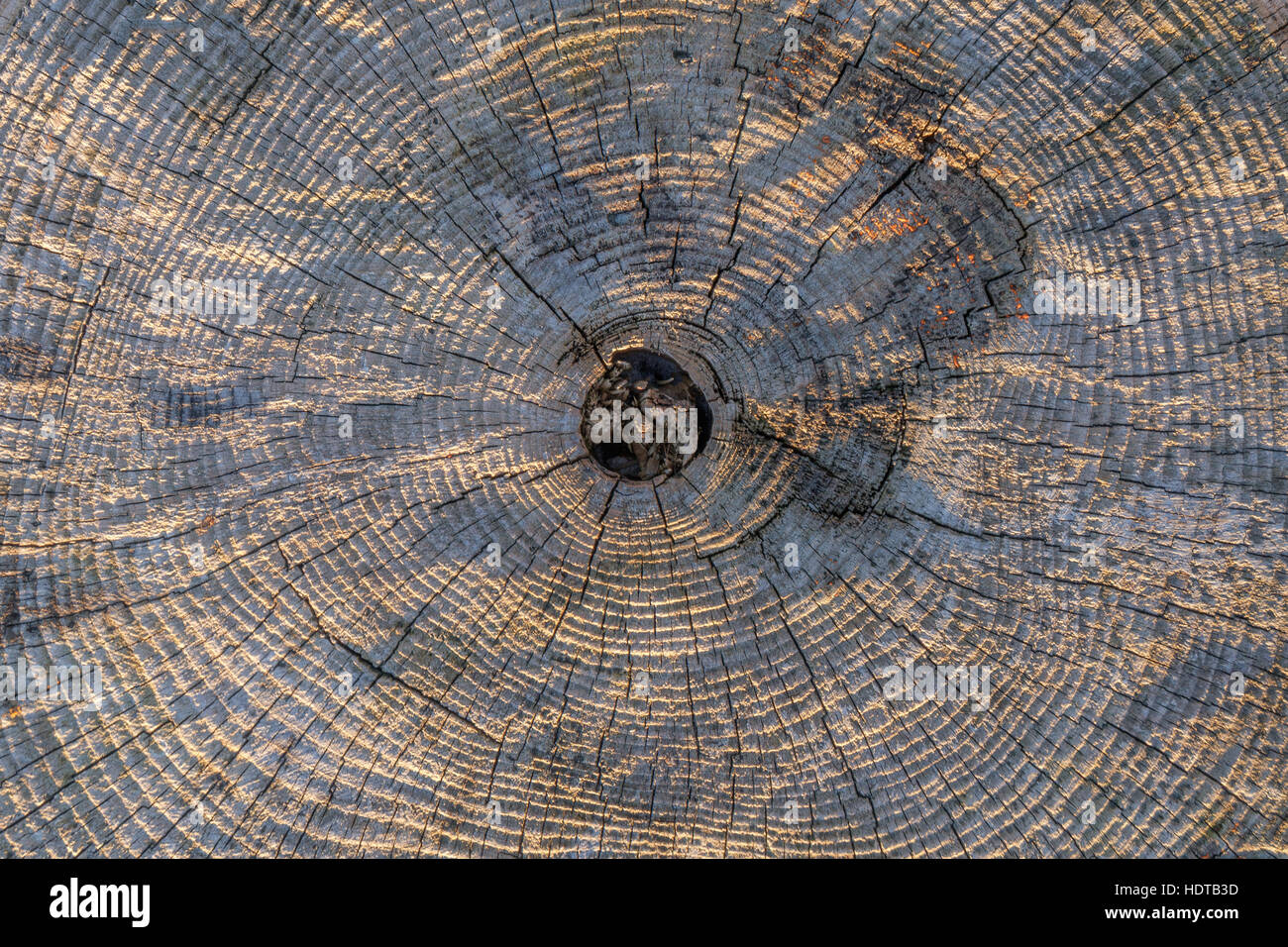A transect of a tree trunk with concentric year rings, old, weathered and gray. - Stock Image