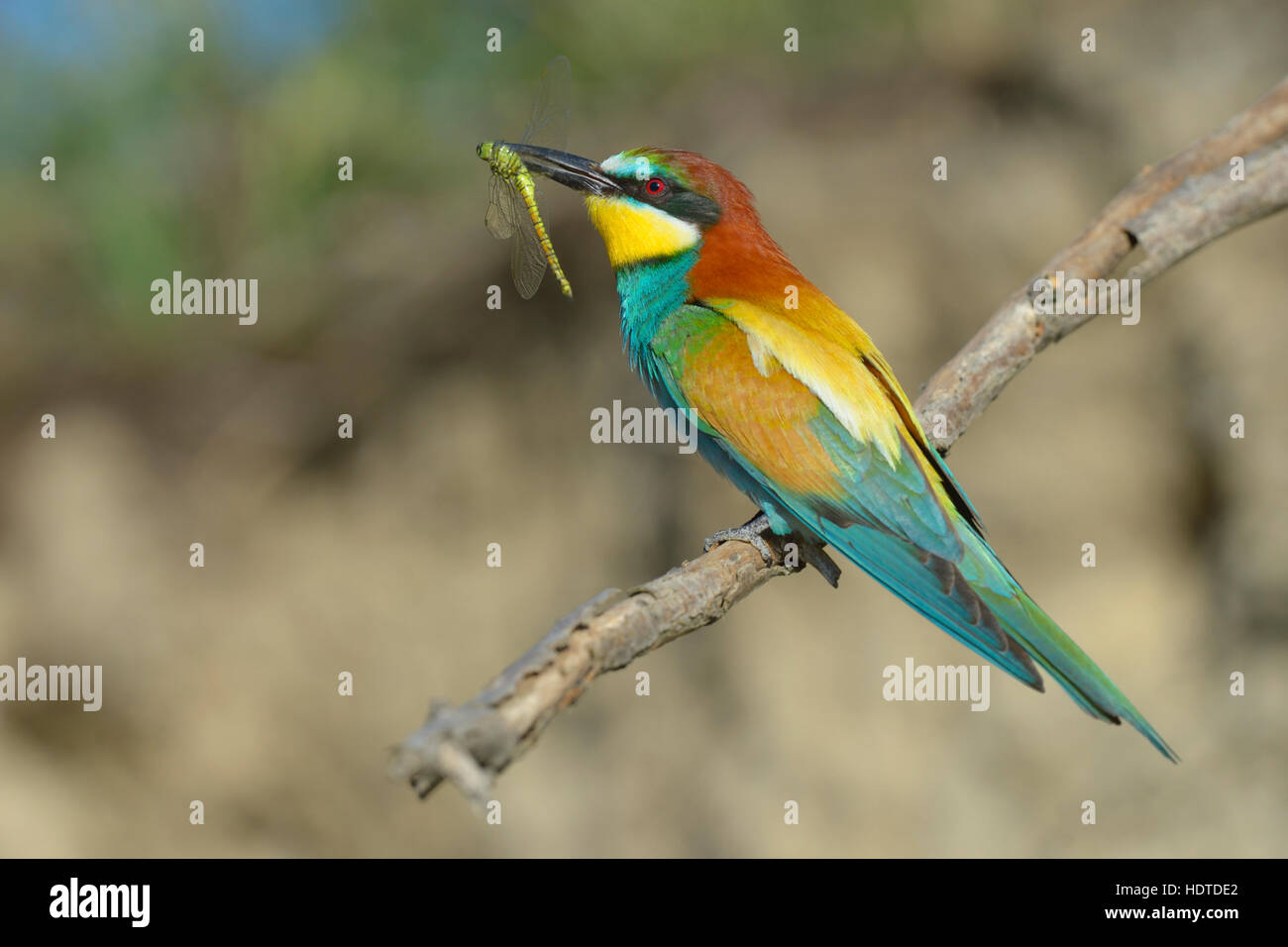European bee-eater (Merops apiaster), sitting on branch with dragonfly in beak, Kiskunság National Park, Hungary Stock Photo