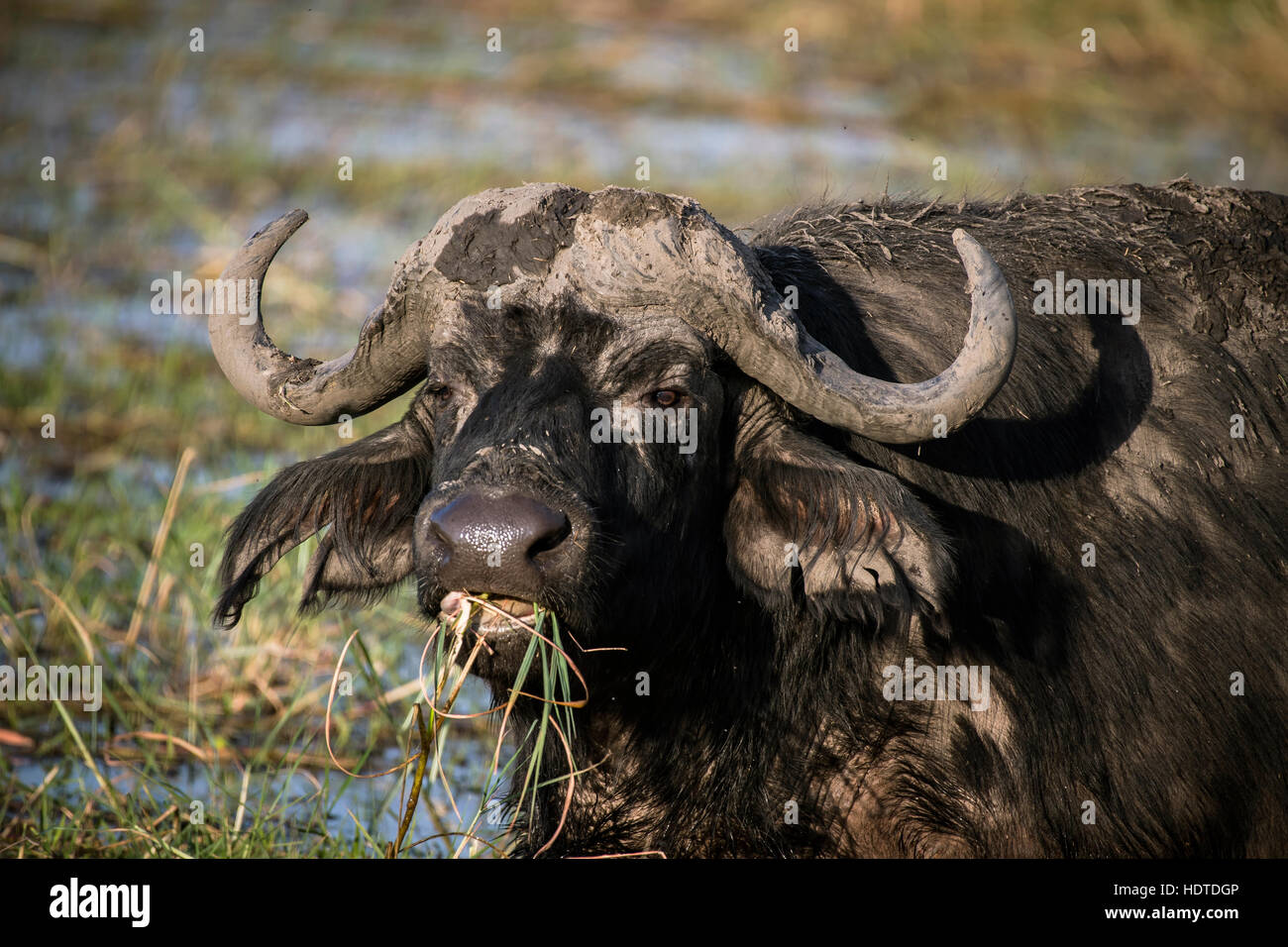 African or Cape buffalo (Syncerus caffer) feeding, Chobe River, Chobe National Park, Botswana Stock Photo