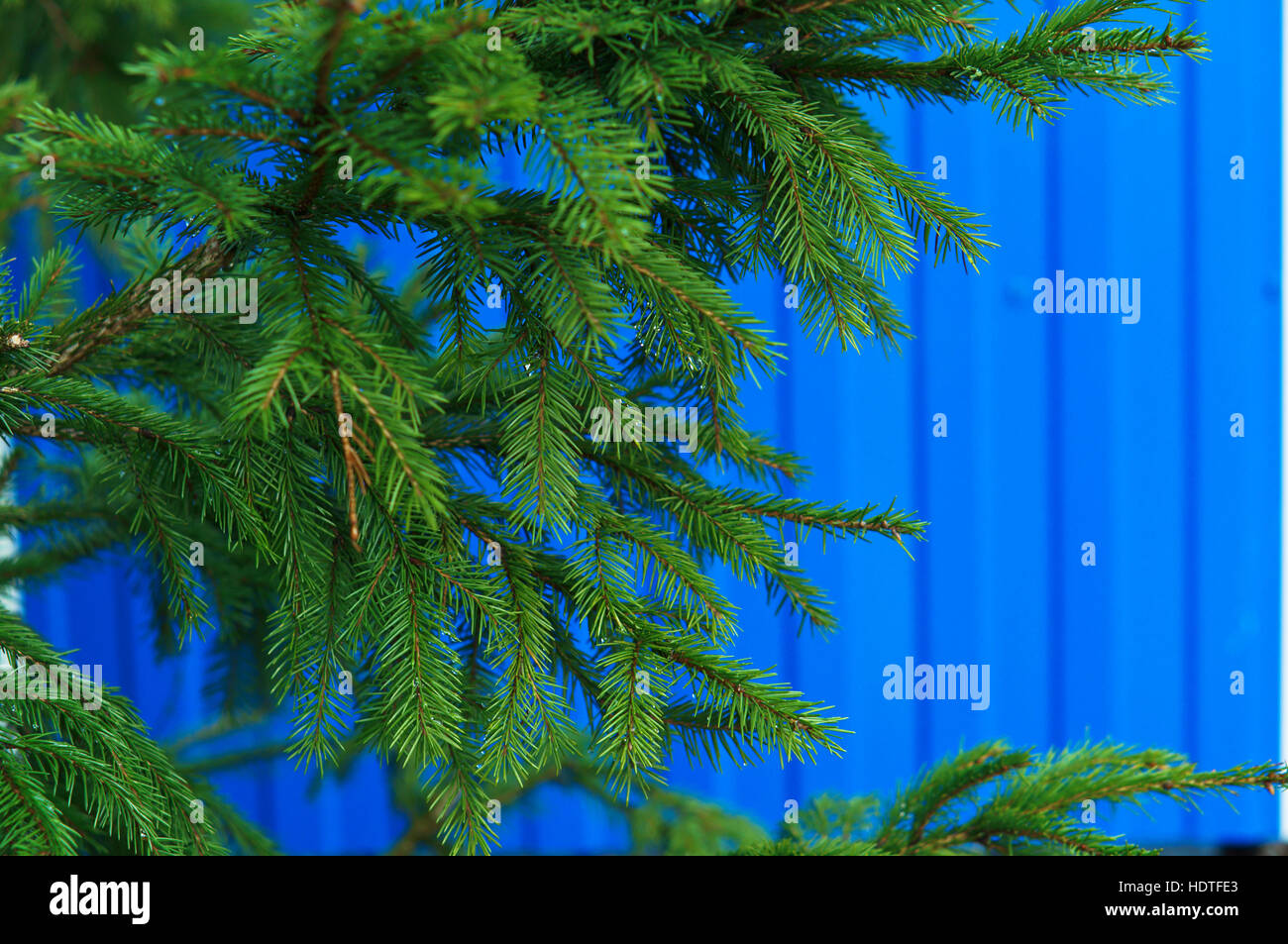 spruce branch on a blue background, tree, blue color - Stock Image