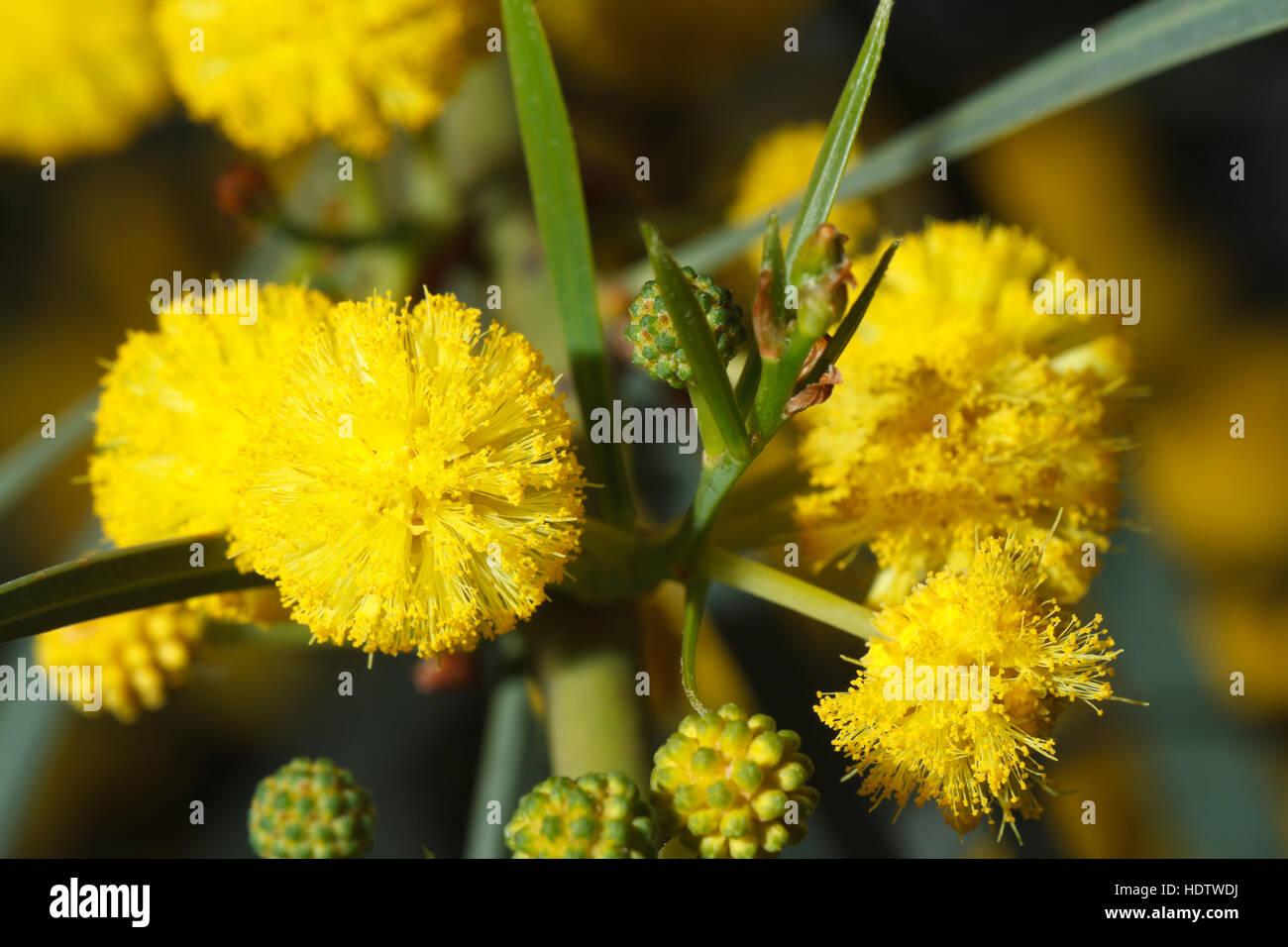 Mimosa tree yellow stock photos mimosa tree yellow stock images beautiful flowers of yellow mimosa macro outdoors horizontal stock image mightylinksfo