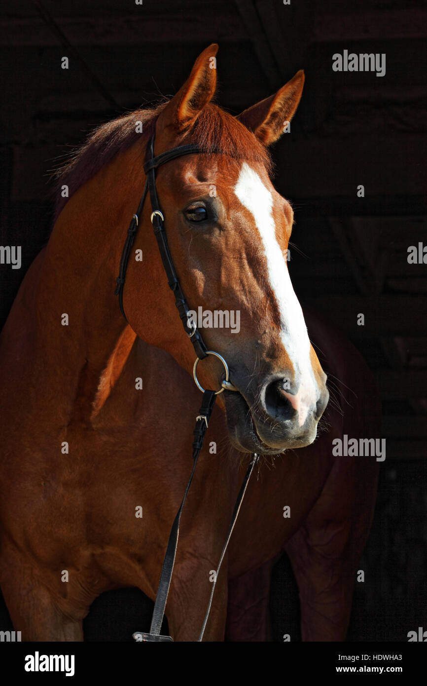 Horse portrait on black background - Stock Image