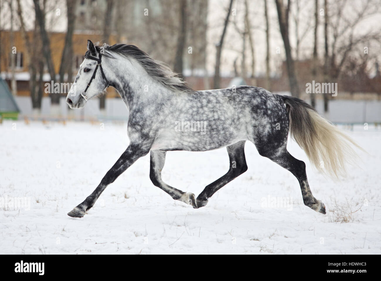 Dapple Grey Horse High Resolution Stock Photography and Images - Alamy