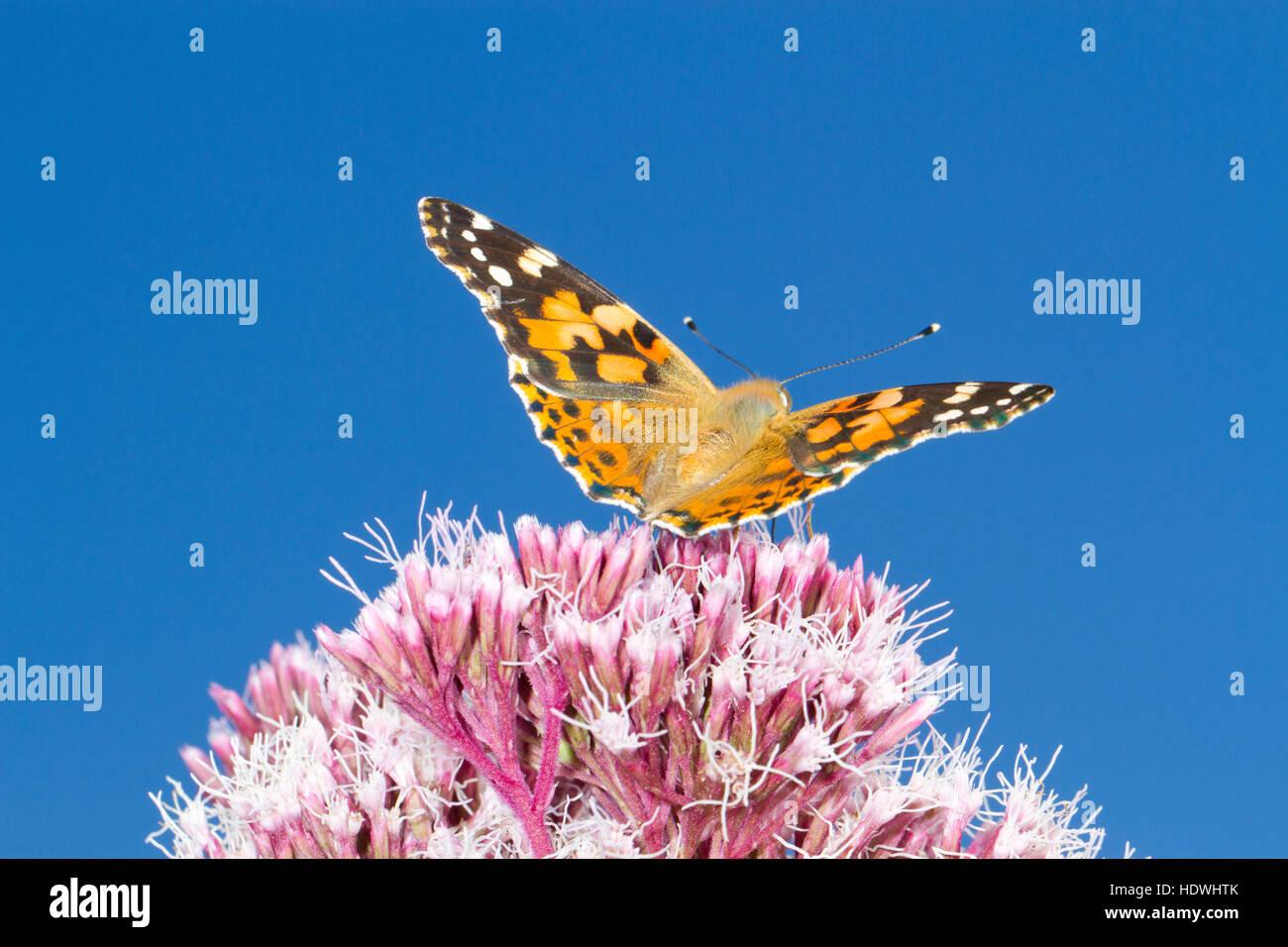 Painted Lady butterfly (Vanessa cardui) adult feeding on Hemp-agrimony (Eupatorium cannabinum) flowers. Powys, Wales. - Stock Image