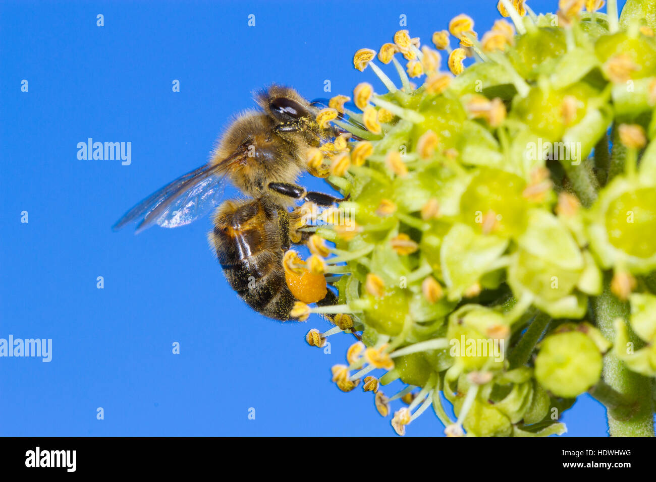 Ivy Flowers Bee Stock Photos Ivy Flowers Bee Stock Images Alamy