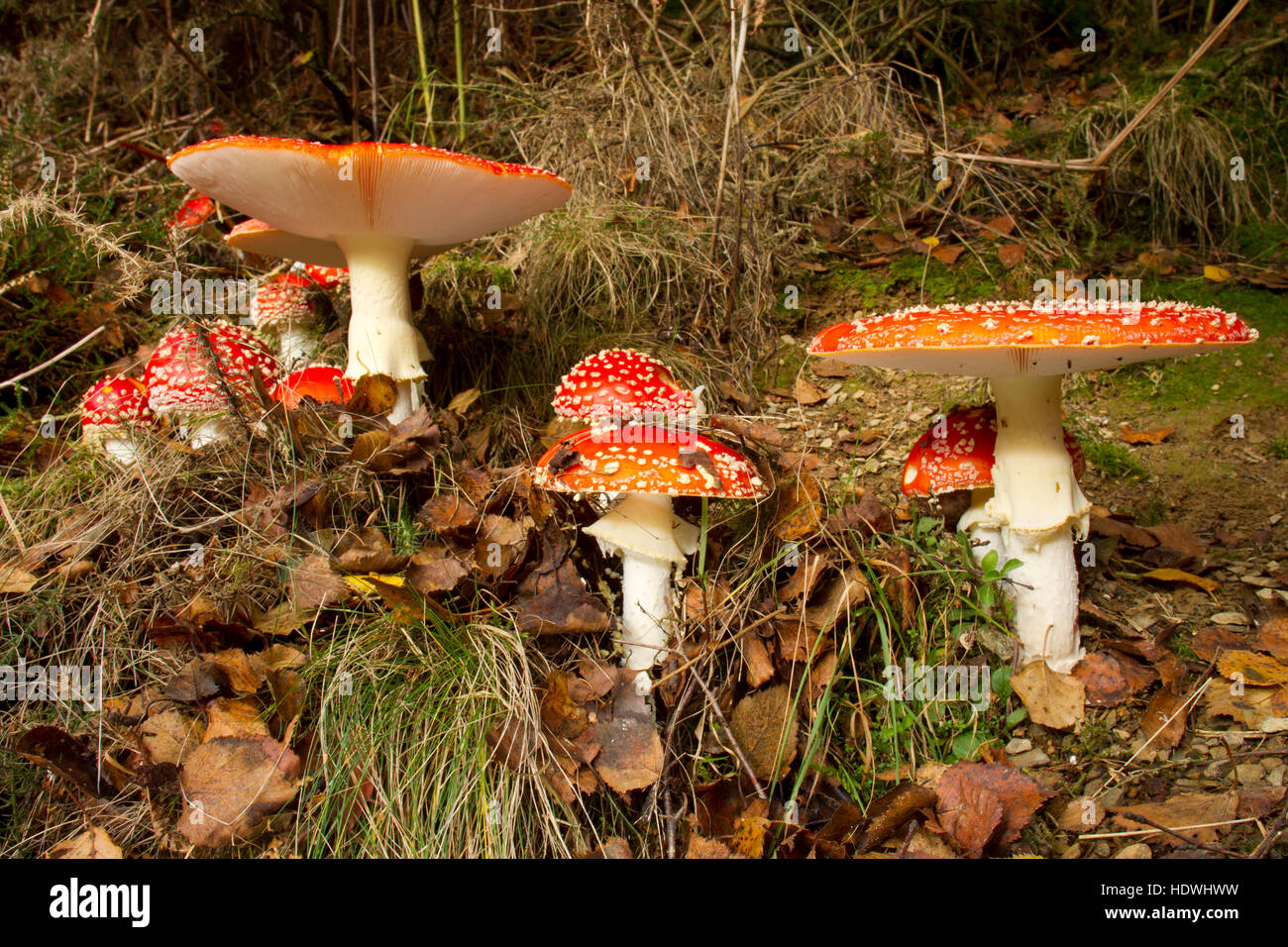 Fly Agaric fungus (Amanita muscaria) fruiting bodies in woodland. Powys, Wales. October. - Stock Image