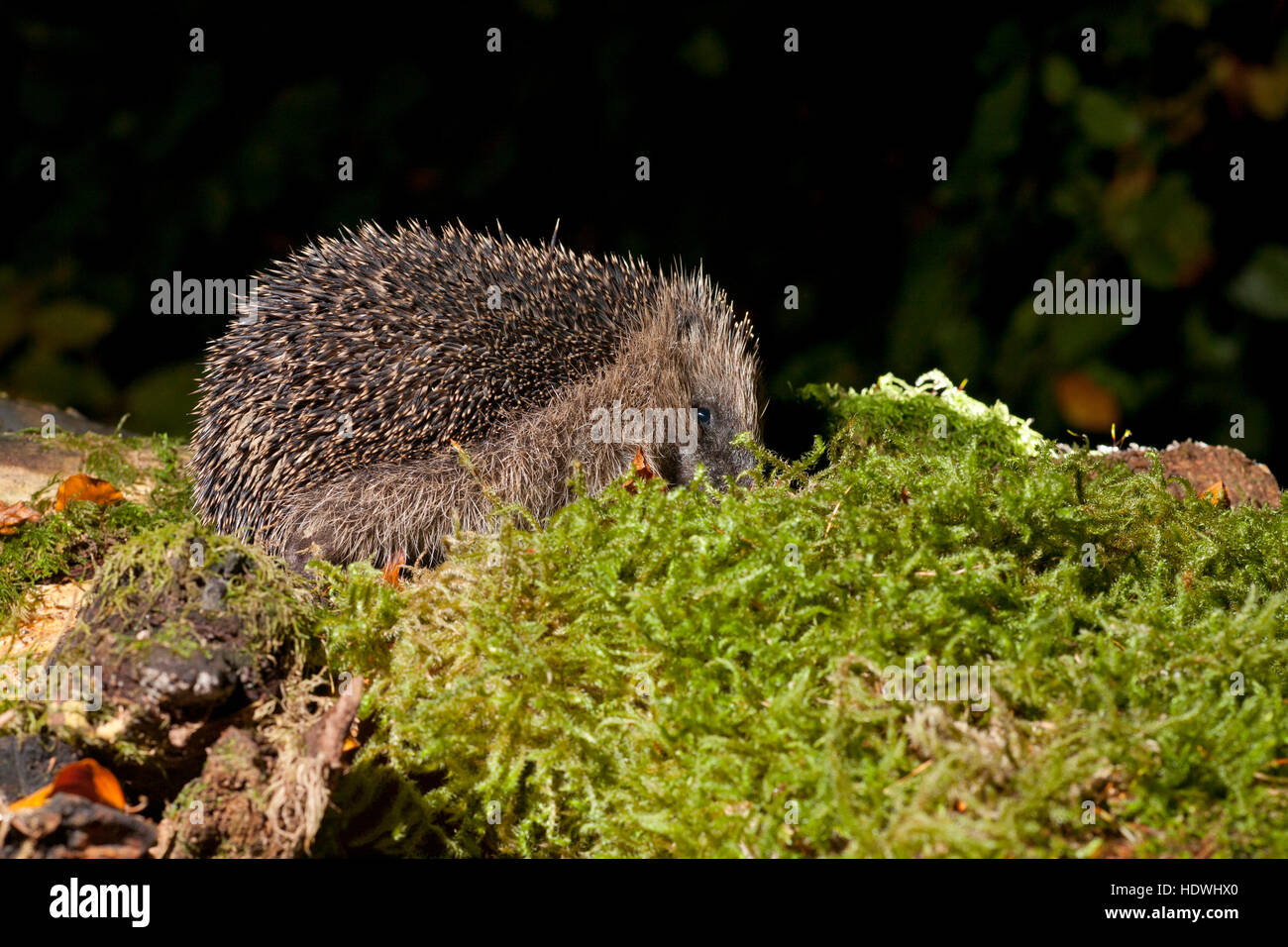 European Hedgehog (Erinaceus europaeus) wild adult in woodland. Powys, Wales. October. - Stock Image