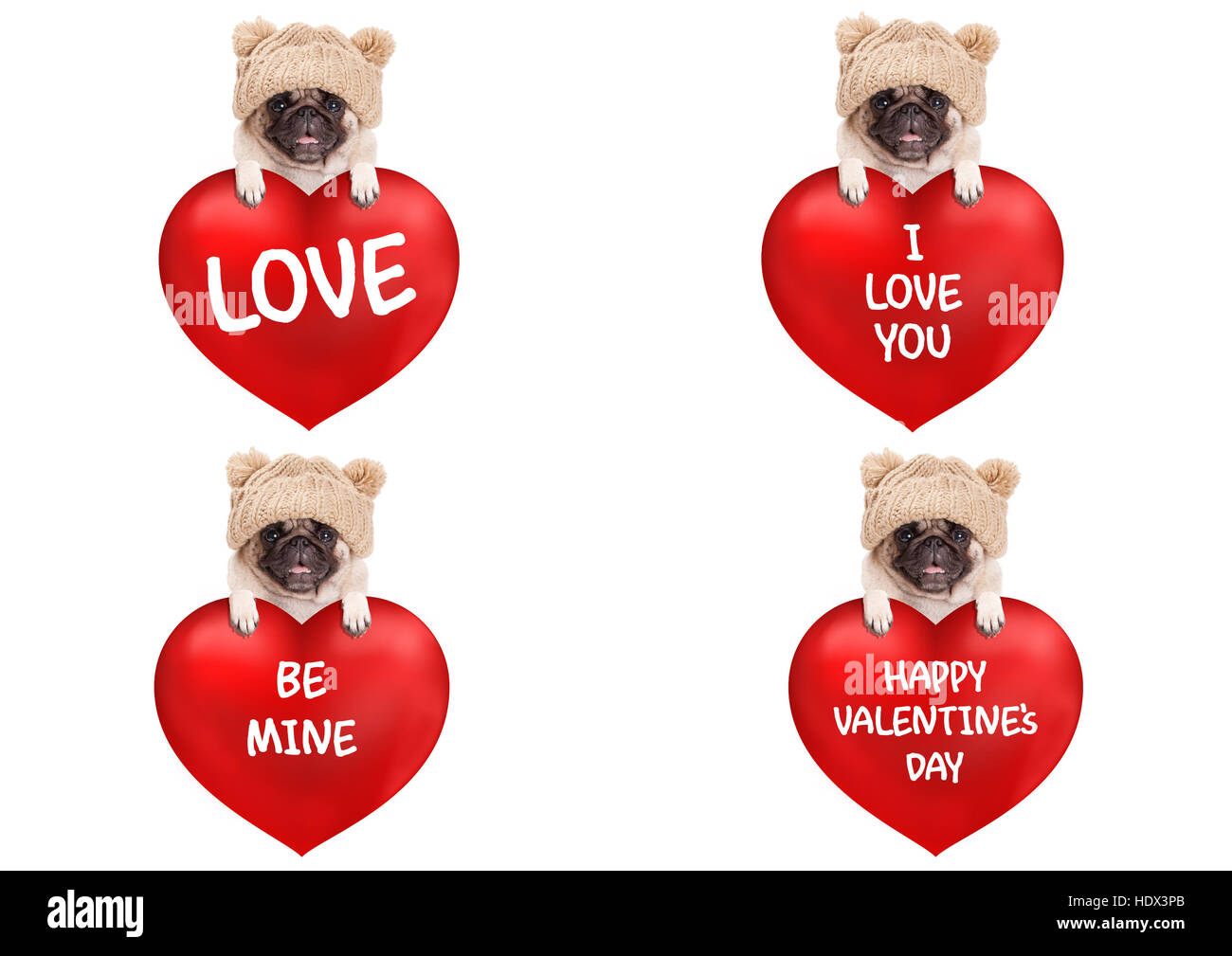 lovely cute pug puppy dog hanging with paws on big valentine's day heart with text, isolated on white background - Stock Image