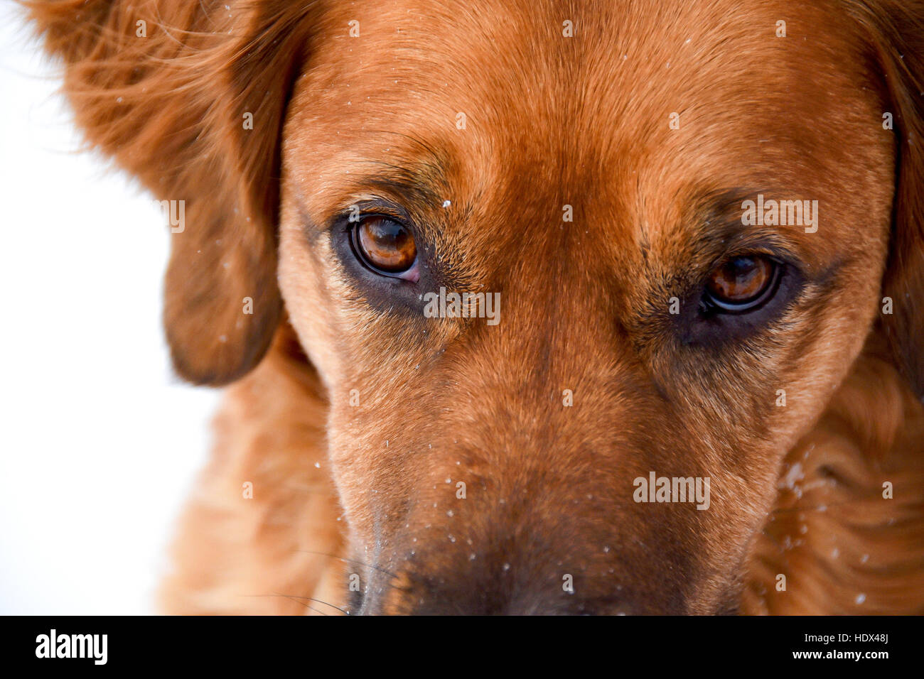 The Focused Gaze In The Face Of A Dog Cropped Close With White Stock